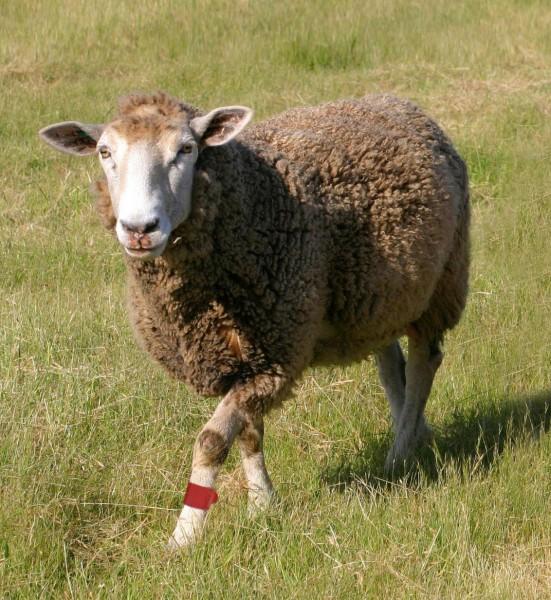 FESSELERKENNUNGSBAND für Schafe